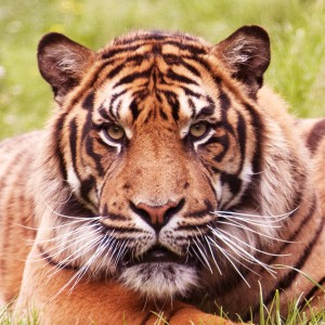 Tiger Dream Interpretation-b
